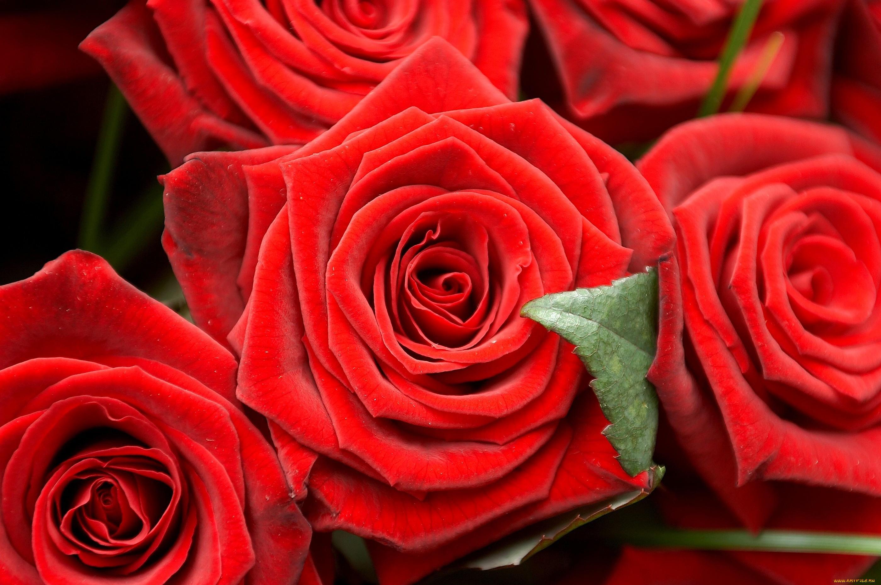 устроиться фото розы крупным планом в хорошем качестве последнюю роль этом